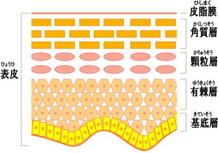 皮膚の構造イラスト 活性酸素とは 種類と特徴 活性酸素による病気 SODとは 抗酸化物質  スキ